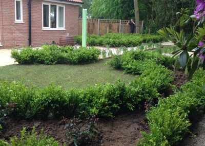 Box hedging and roses